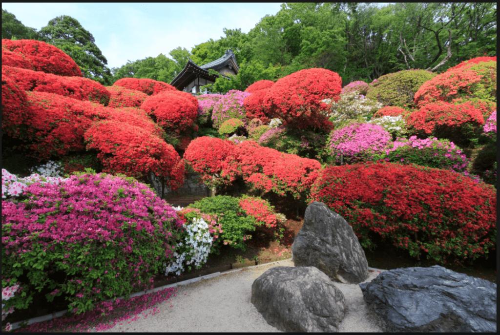 Plante azalée Rhododendron