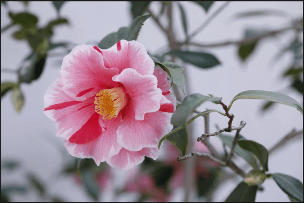 Fleur camelia du japon