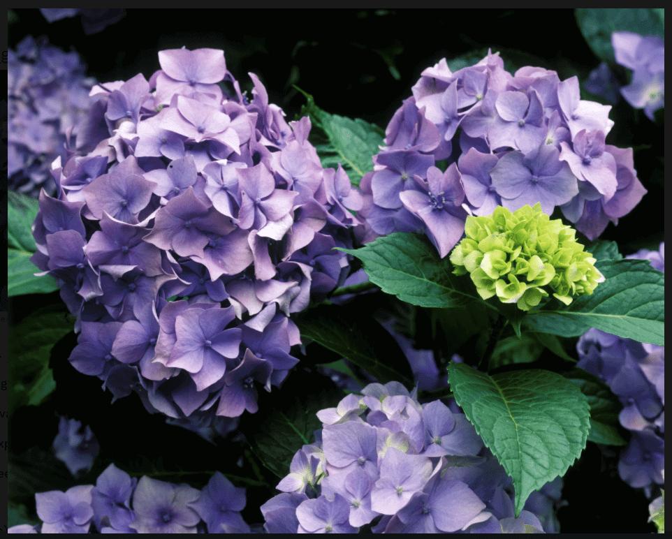 Fleur hortensia violette