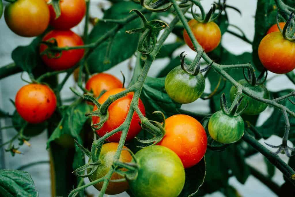 Plantation de tomates en avril