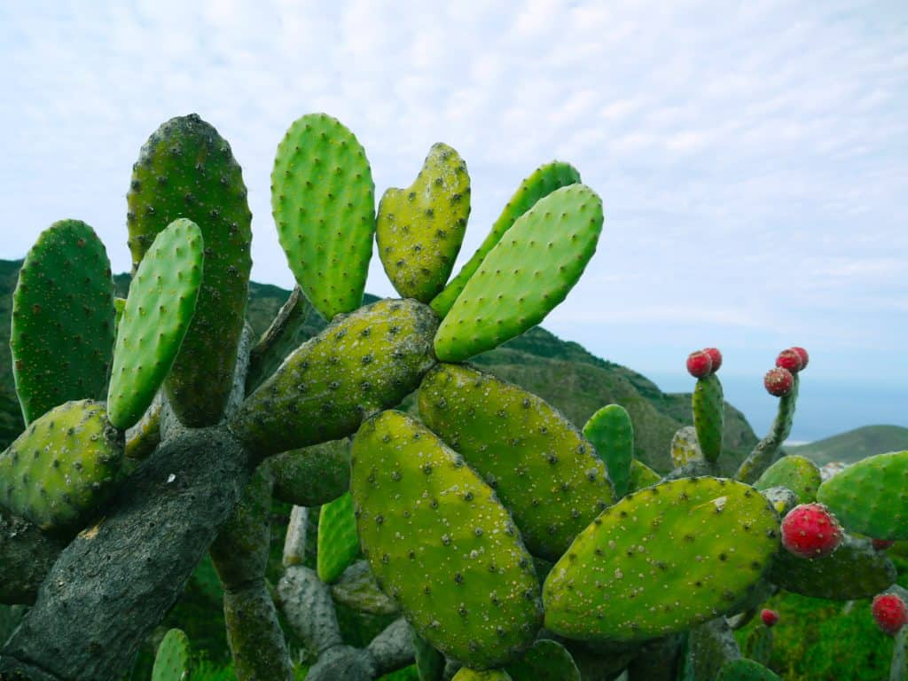 Variété de cactus Opuntioïdées