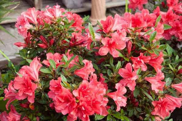 Fleurs rouges azalee encore