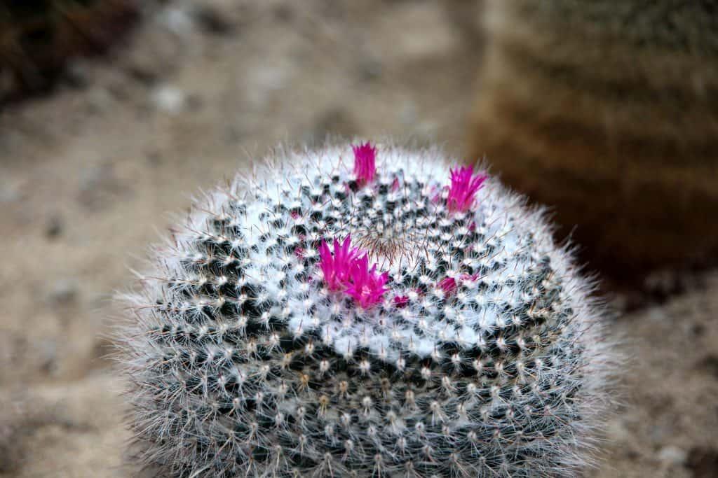 Variété de cactus mammillaria
