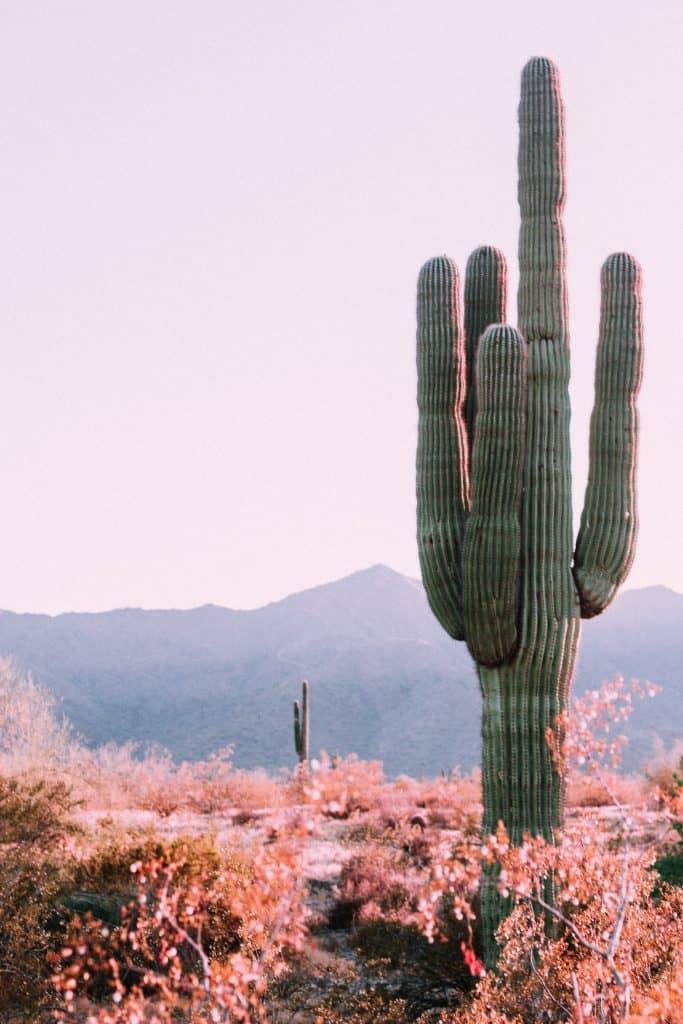 Variété de cactus cierge