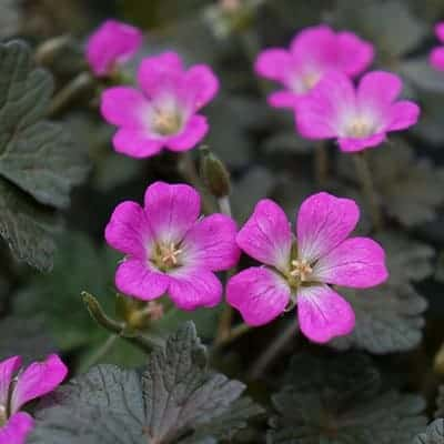 fleur violette geranium