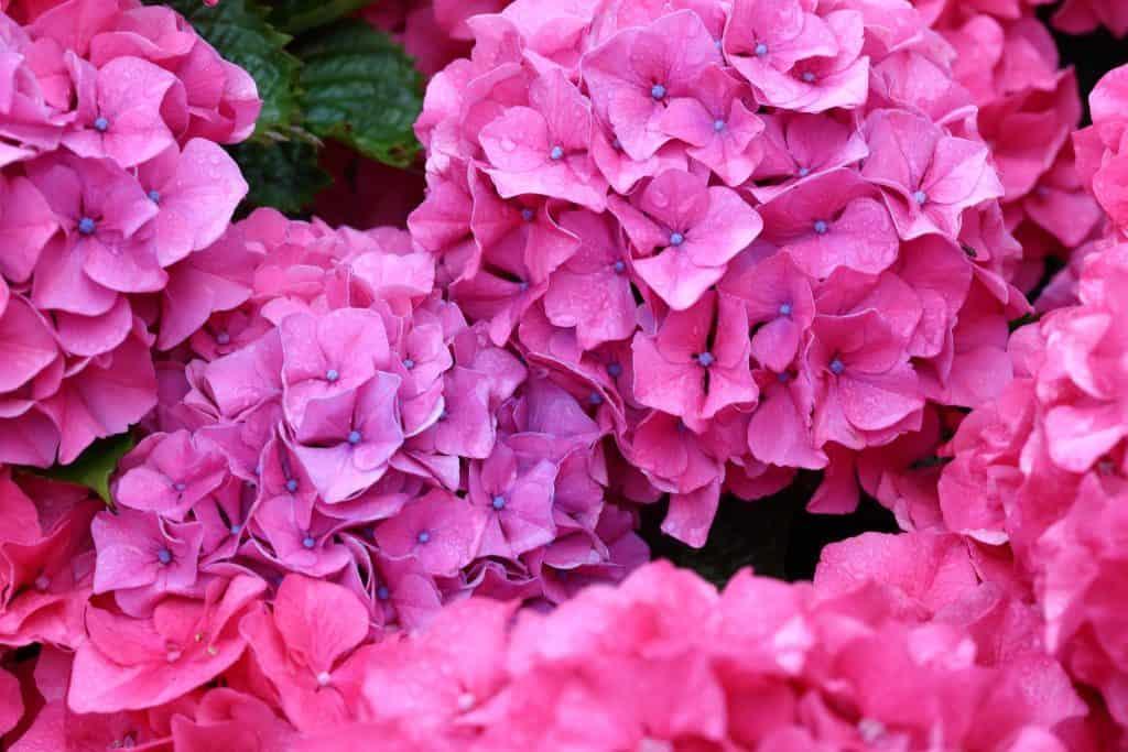 Fleurs hortensia couleur rose