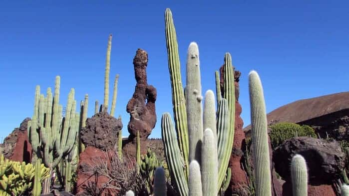 Cactus dans le jardin de lanzarote