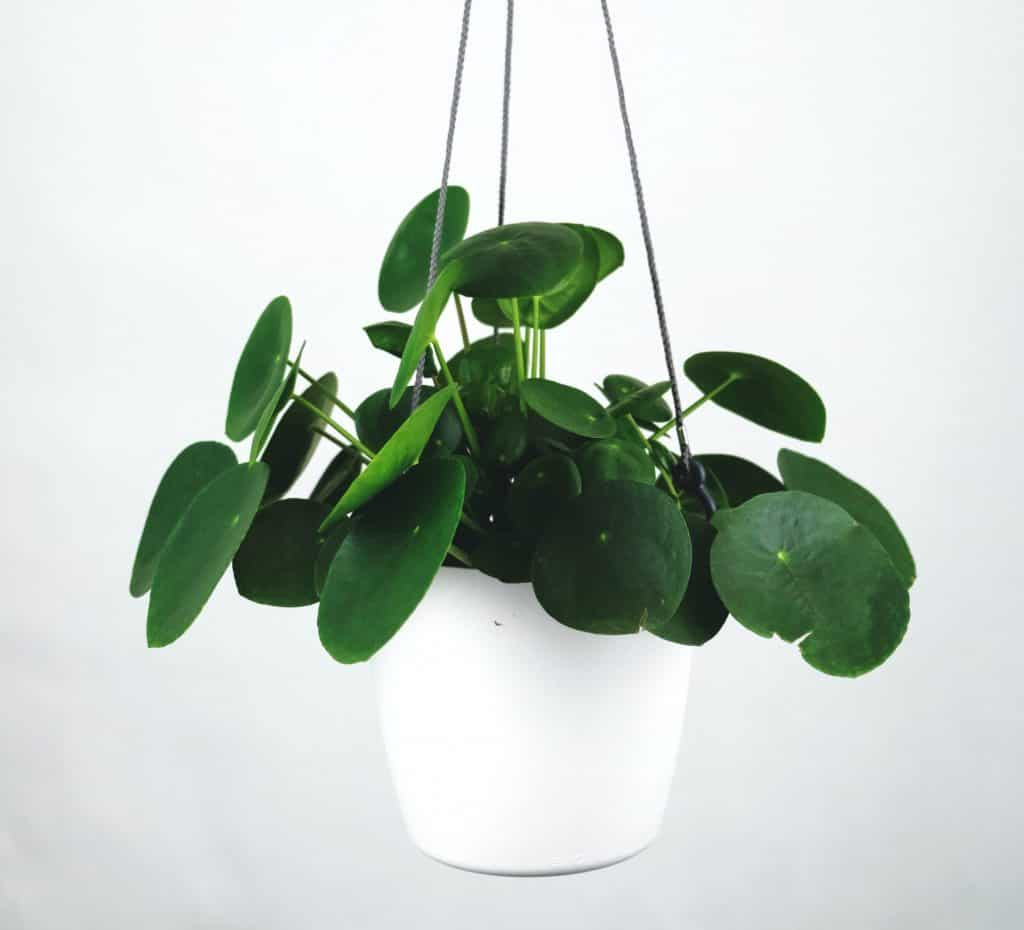 Pilea plant in a white hanging pot