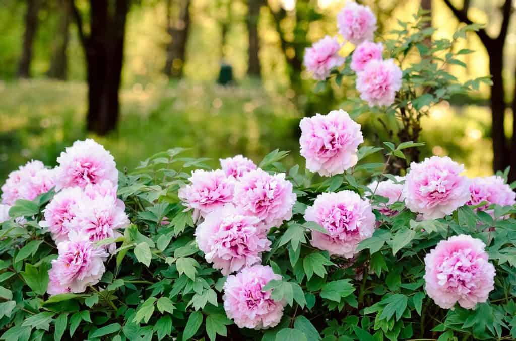 Fleurs pivoine