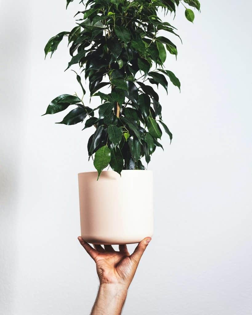 Studio shot of the beautiful Ficus benjamina.