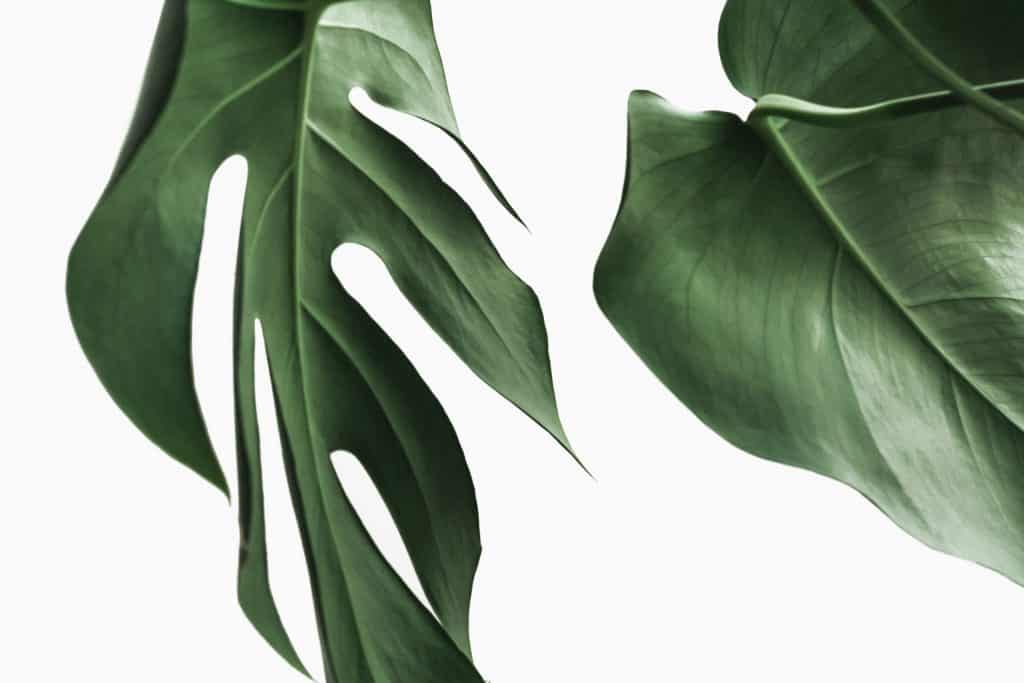 Two Fensterblatt Monstera Deliciosa leaves on a minimal white wall background. Designer shop for digital influencers https://creativemarket.com/NordWood