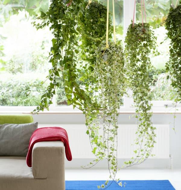 klimop mooiwatplantendoen